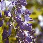 Glycine bleue