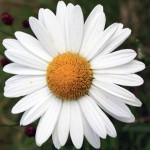 Reine-Marguerite