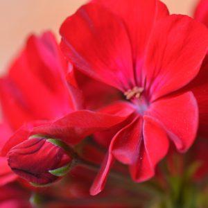 Géranium rouge