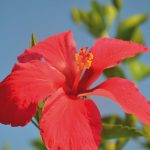 Hibiscus rouge